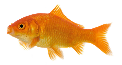 How long do goldfish live christy mcdonald for How much does a fish cost