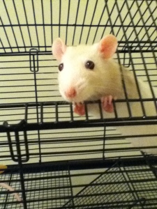 Hello, I'm a rat. In your house.